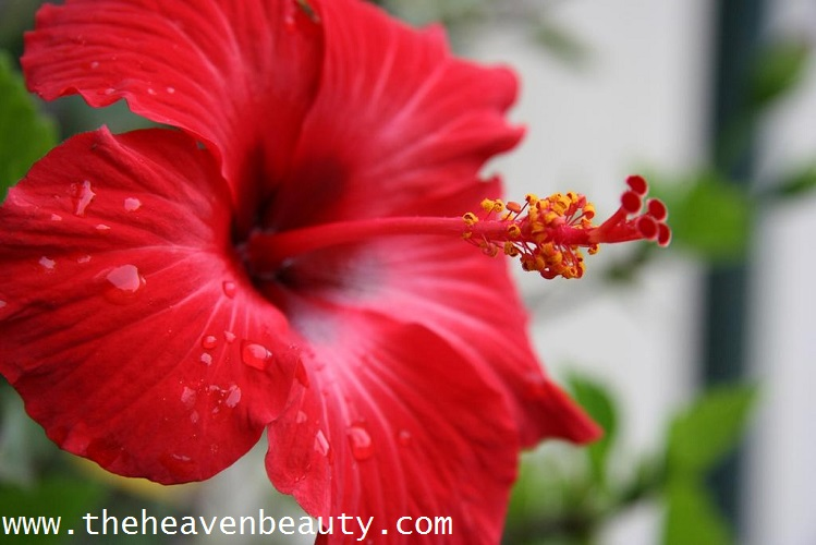 Hibiscus - Onion Shampoo for Hair Growth